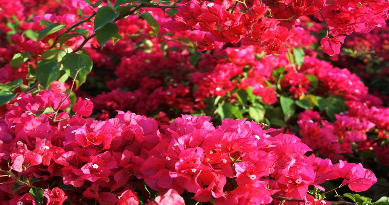 Ten Amazing Bougainvillea ideas for Landscaping